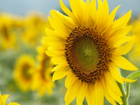 080817_Sunflower5.JPG